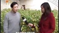 《乡村科技》279期保护地蔬菜常见病虫害防治丰收年大高产灾年不减产--张玉20生育期表现情况纪实视频
