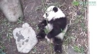 圓仔玩竹子 Giant Panda Cub Playing Bamboo