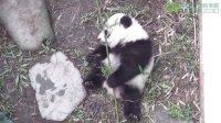 圓仔玩竹子 Giant Panda Cub Playing Bamboo