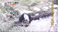天天夯圓仔 網路直播 2013.12.01 Baby Giant Panda Yuan-Zai day