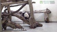 1201 圓仔學媽媽 Giant Panda Cub Yuan Zai Learning From Her M