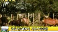 法拉贝拉矮种马 马匹中的贵族120111新闻播报
