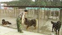 看中国训獒第一人有话要说!——俊鹏训犬