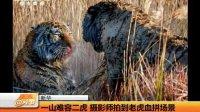 一山难容二虎 摄影师拍到老虎血拼场景 天天网事 131204