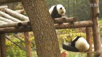 GIANT PANDA IN BEIJING ZOO 1