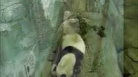 Mei Xiang is walking in the room with cub
