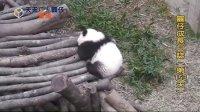 天天夯圓仔 網路直播 2013.12.06 Baby Giant Panda Yuan-Zai day