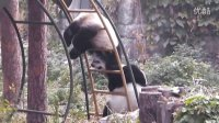 GIANT PANDA IN BEIJING ZOO