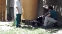 Baby Panda from Madrid Zoo Spain (Jun 2011)