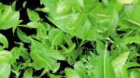 绿色树叶粒子转场素材2