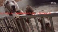 德国短毛猎犬威玛猎犬 魏玛犬 哪有卖威玛猎犬的 威玛视频