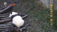 天天夯圓仔 網路直播 2013.12.14 Baby Giant Panda Yuan-Zai day