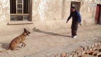 I马犬服从训练视频  表演科目视频  护卫犬训练视频  工作犬视频