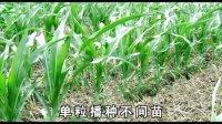 先玉335单粒播种玉米种