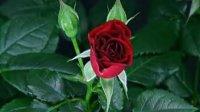 视频: 让人惊叹的玫瑰花开放全过程http:www.roseteachina.com