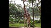singapore_zoo_safari