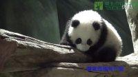 圓仔A場練習 Giant Panda Cub Yuan Zai's Practice In The Play