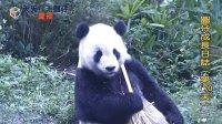 天天夯圓仔 網路直播 2013.12.23 Baby Giant Panda Yuan-Zai day