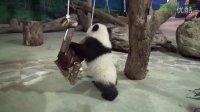 圓仔A場探險Part2 Giant Panda Cub Yuan Zai's Practice In The