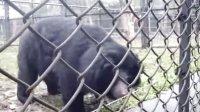 活熊取胆严重的后遗症(摄于AAF基地)