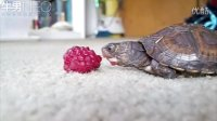 小龟吃树莓真费劲有木有!
