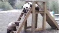 Giant Panda,The Impregnable Fort