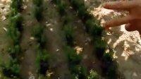 红豆杉 曼地亚红豆杉 曼地亚红豆杉盆景 红豆杉盆景 山东临沂敬之曼地亚红豆衫繁育种植基地