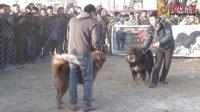 风暴VS红盾--2014中国C1世界猛犬竞技联赛7