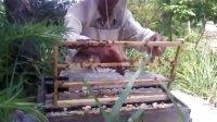 实拍蜜蜂是怎么养的。
