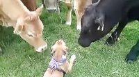 乐天堂的小狗与牛群的有趣一幕