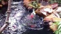 锦鲤吃大白菜的视频