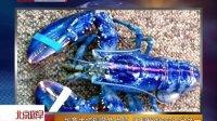加拿大惊现蓝色龙虾 出现概率200万分之一