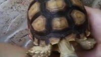 菠萝面包龟 苏达卡龟