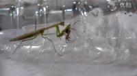 螳螂吞噬蜘蛛 30分钟完成尸解 被咬断的蜘蛛腿一直在抖动