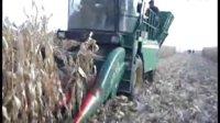 田丰农机为Y210配套大垄密玉米割台收获玉米现场