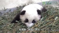 01好奇寶寶圓仔The Curious Baby Giant Panda Yuan Zai And Dadd