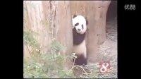 Giant Panda Hua Mei 華美小時候
