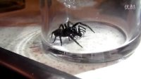 悉尼漏网蜘蛛对战黑寡妇蜘蛛