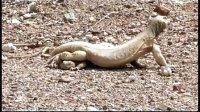 埃及王者蜥野外交配视频【明珠下载】