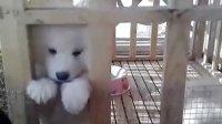 视频: 金华凯撒犬业QQ1262341143