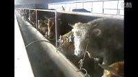 科学养牛-养牛技术讲座视频