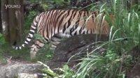 7月29日國際老虎日 International Tiger Day