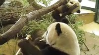 Panda Baby Fu Long Wien zoo