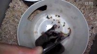 蜜袋鼯狠吃面包虫好吃啊 呵呵