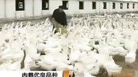 肉鸭养殖、养鹅