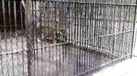动物园金钱豹咬人之后