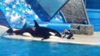 美国圣地亚哥水族馆实拍虎鲸精彩表演(上)