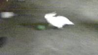 被鹦鹉追着跑的美卡
