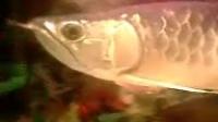 2008年5月22日晚手机拍摄金龙鱼