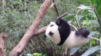 2014-03-30 圓仔摔下樹!(The Giant Panda Cub Yuan-Zai)